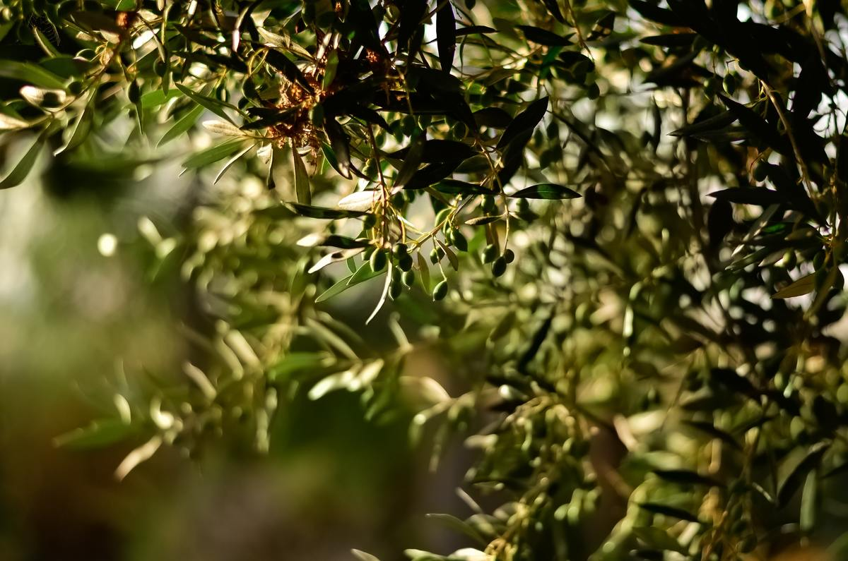 aceite de oliva limpieza casera